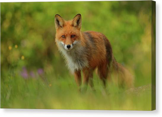 Red Fox Lady Canvas Print by Assaf Gavra