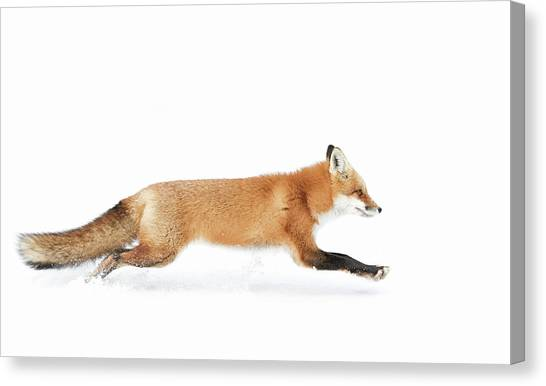 Winter Canvas Print - Red Fox On The Run - Algonquin Park by Jim Cumming