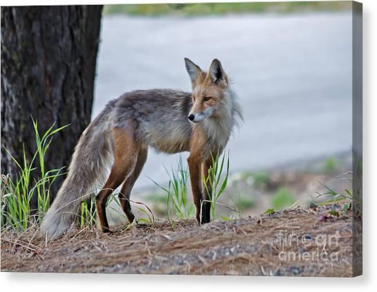 Bushy Tail Canvas Print - Red Fox by Robert Bales