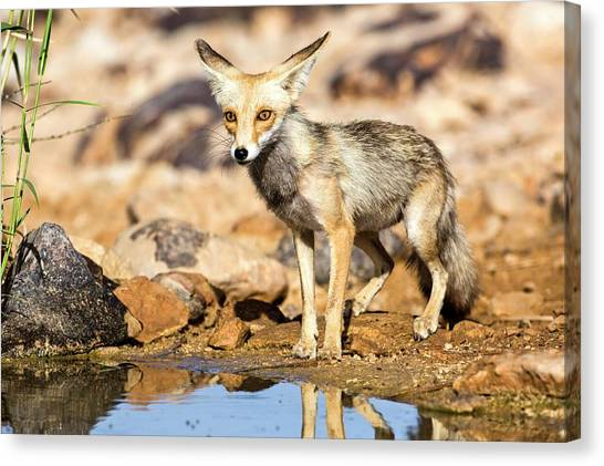 Hole In One Canvas Print - Red Fox Vulpes Vulpes by Photostock-israel