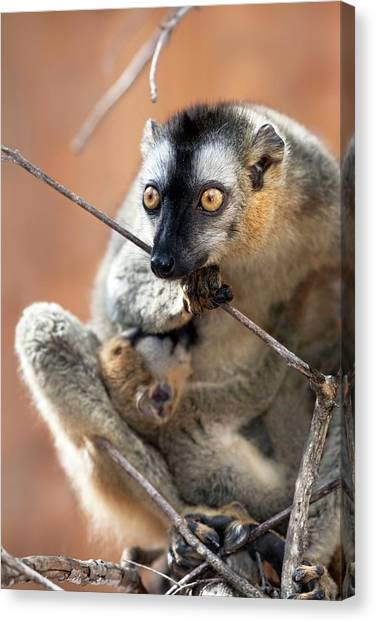 Lemurs Canvas Print - Red-fronted Brown Lemur And Infant by Alex Hyde