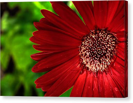 Red Gerber Daisy Canvas Print