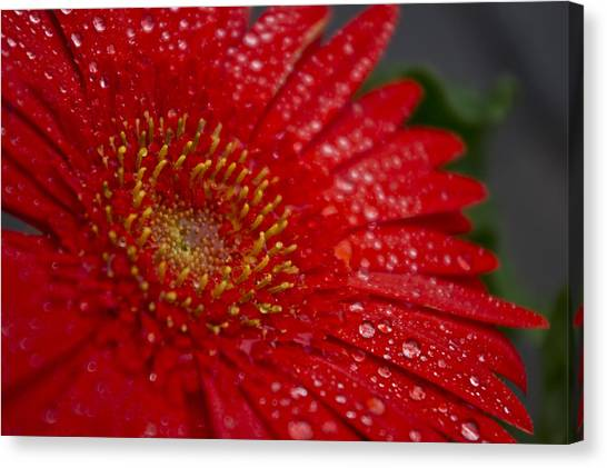 Red Gerber In The Rain Canvas Print