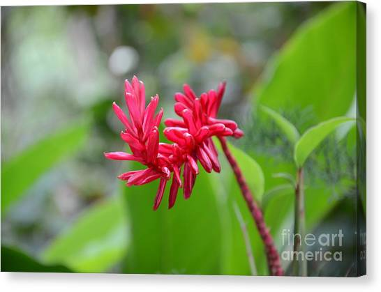 Red Ginger Canvas Print
