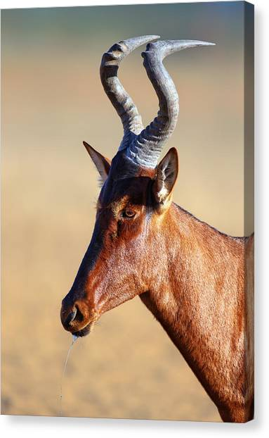 South Africa Canvas Print - Red Hartebeest Portrait by Johan Swanepoel