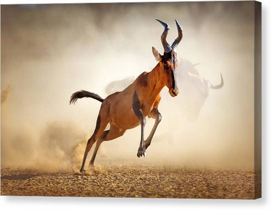 South Africa Canvas Print - Red Hartebeest Running In Dust by Johan Swanepoel