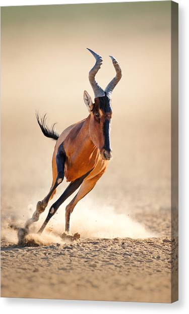South Africa Canvas Print - Red Hartebeest Running by Johan Swanepoel