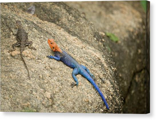 Red-headed Rock Agama Canvas Print by Photostock-israel