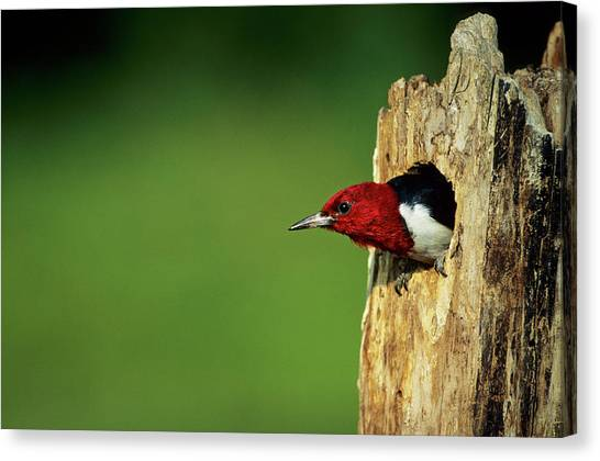 Cavity Canvas Print - Red-headed Woodpecker (melanerpes by Richard and Susan Day