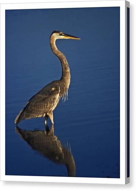Red Heron Wading Canvas Print