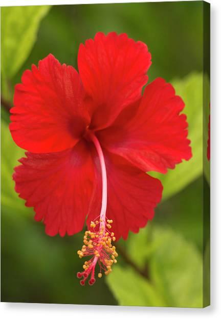 Belize Canvas Print - Red Hibiscus, Hibiscus Rosa-sinensis by William Sutton