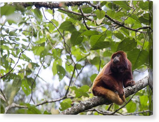 Red Howler Monkey Sitting In A Tree Canvas Print