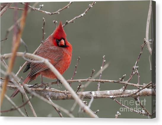 Red In Winter Canvas Print