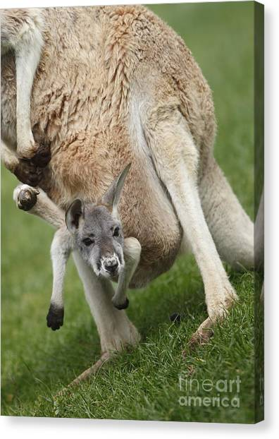 Red Kangaroo Joey Canvas Print