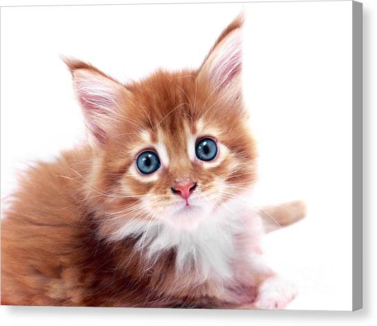 Main Coons Canvas Print - Red Kitten by Roman Milert