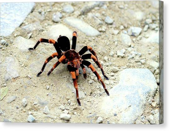 Monteverde Canvas Print - Red-kneed Tarantula (euathlus Mesomelas by Miva Stock