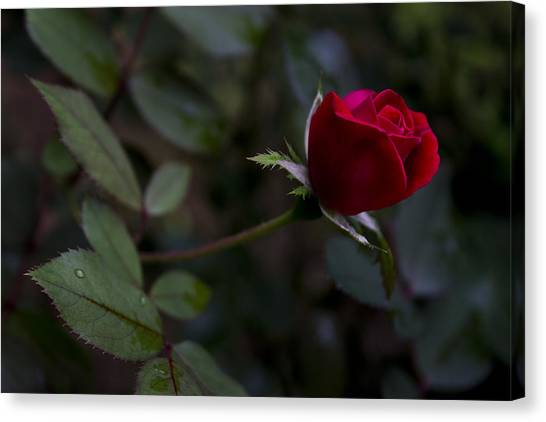 Red Knockout Rose Canvas Print