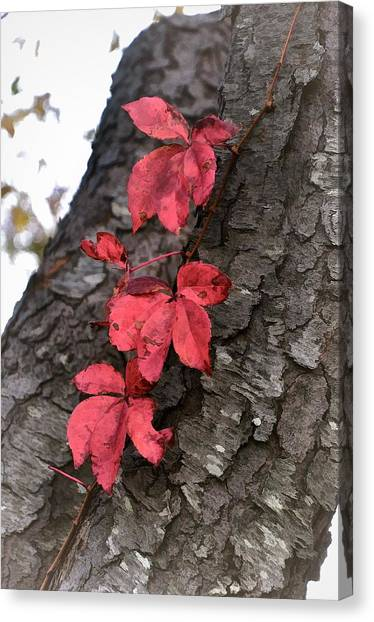 Red Leaves On Bark Canvas Print