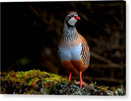Red-legged Partridge Canvas Print