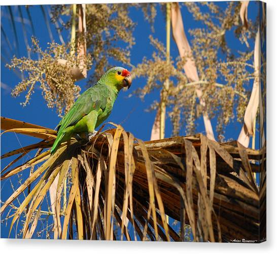 Red-lored Amazon In Palm Canvas Print