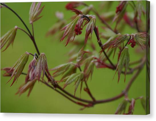 Canvas Print featuring the photograph Red Maple by Kelly Hazel