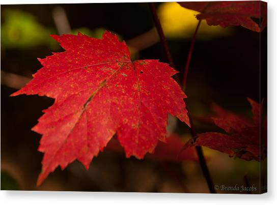 Red Maple Leaf In Fall Canvas Print