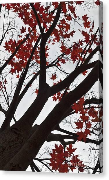 Maple Season Canvas Print - Red Maple Tree by Ana V Ramirez