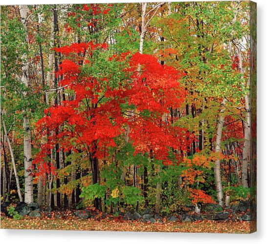 Red Maple Tree And White Birch Trees In Canvas Print