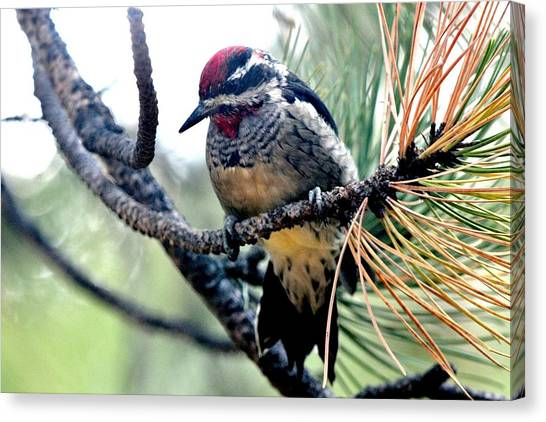 Red-naped Sapsucker On Pine Tree Canvas Print