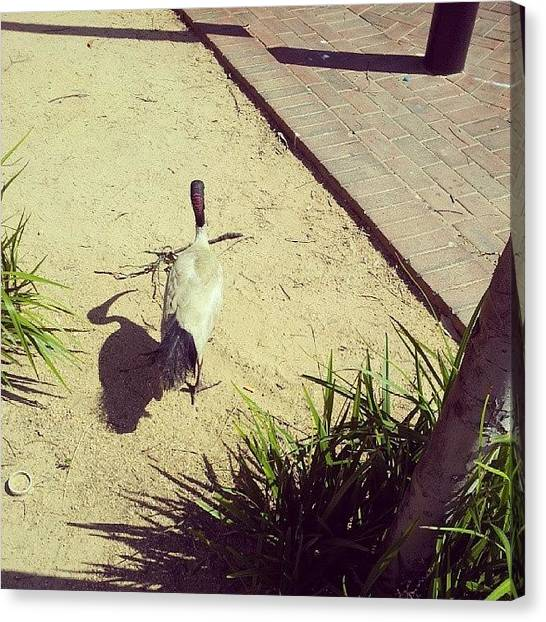 Ibis Canvas Print - Red Neck And Red Eyes #whiteibis #ibis by Crystal Chloe