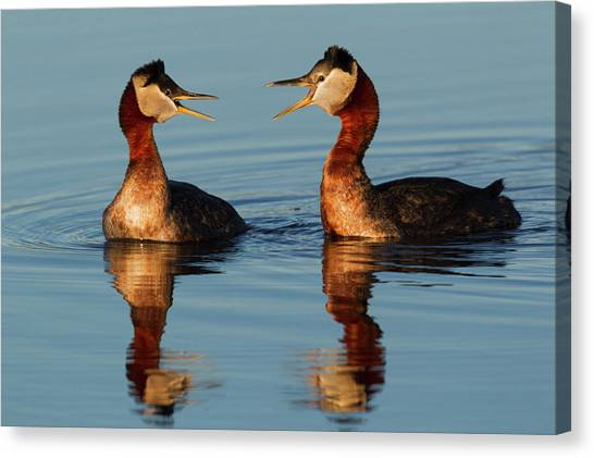 Tundras Canvas Print - Red-necked Grebes Calling by Ken Archer