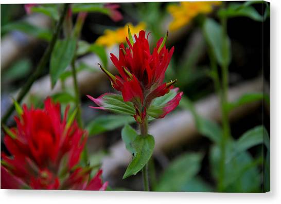Boise National Forest Canvas Print - Red Paintbrush by Ed  Riche
