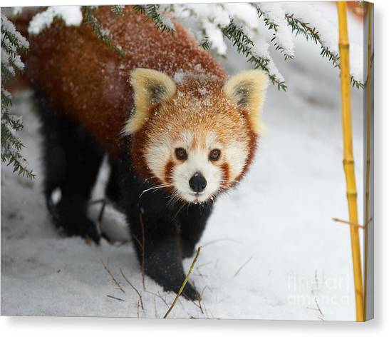 Red Panda In The Snow Canvas Print