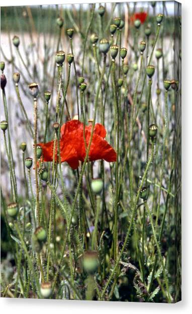 Red Poppy And Buds Canvas Print