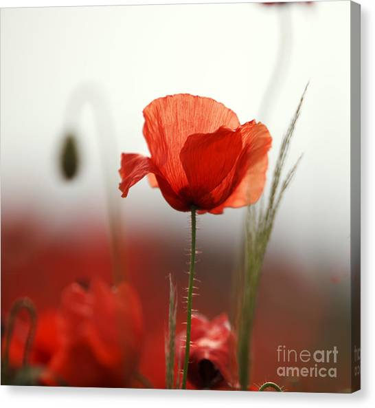 Red Flower Canvas Print - Red Poppy Flowers by Nailia Schwarz