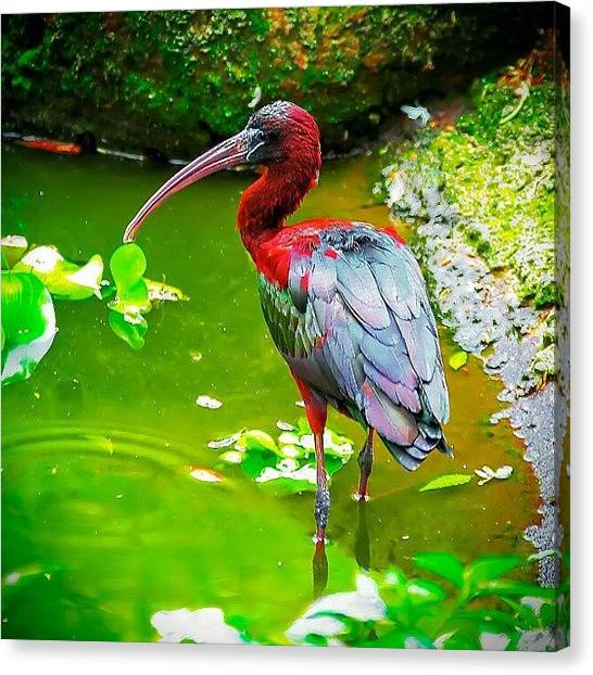 Ibis Canvas Print - Red by Rahman Galela