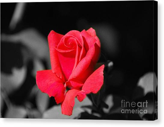 Red Red Rose - Sc Canvas Print