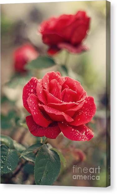 Red Roses Canvas Print - Red Rose After Rain by Diana Kraleva