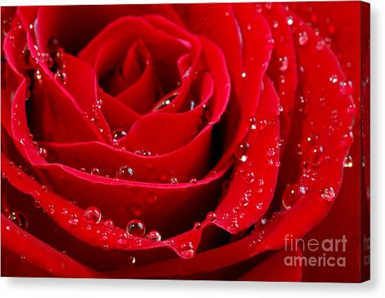 Red Roses Canvas Print - Red Rose by Elena Elisseeva