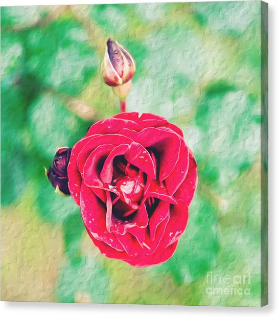 Canvas Print featuring the photograph Red Rose by Yew Kwang