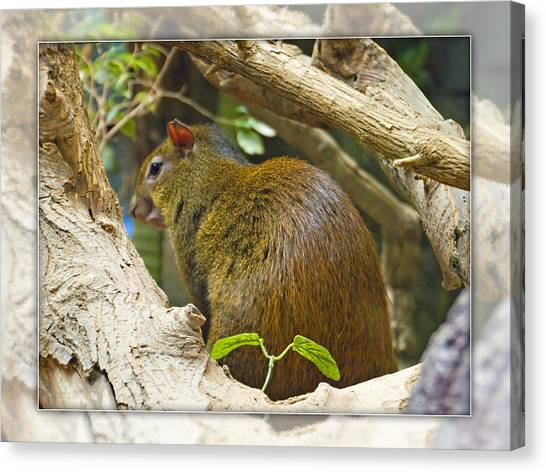 Red-rumped Agouti Canvas Print