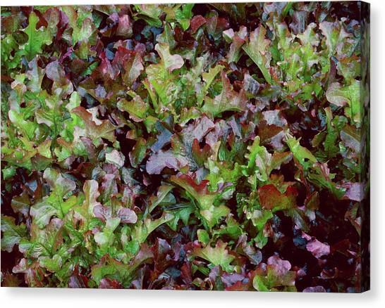 Salad Canvas Print - Red Salad Bowl Lettuce by Anthony Cooper/science Photo Library