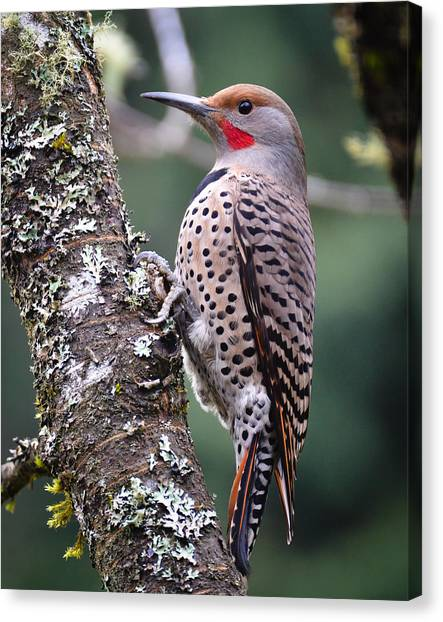 Red Shafted Flicker Vi Canvas Print by Ronda Broatch