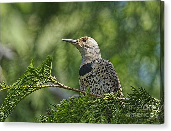 Northern Flicker Canvas Print - Red Shafted Northern Flicker Female by Sharon Talson