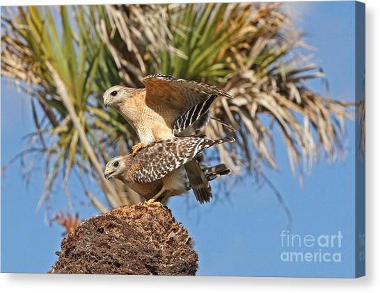 Red-shoulder Hawks Canvas Print
