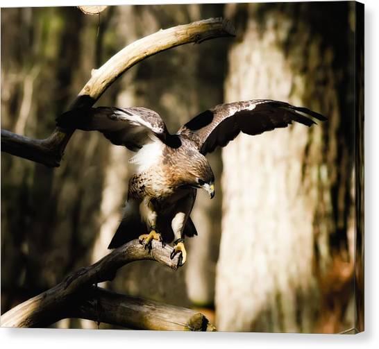 Red Shouldered Hawk Canvas Print by B Wayne Mullins