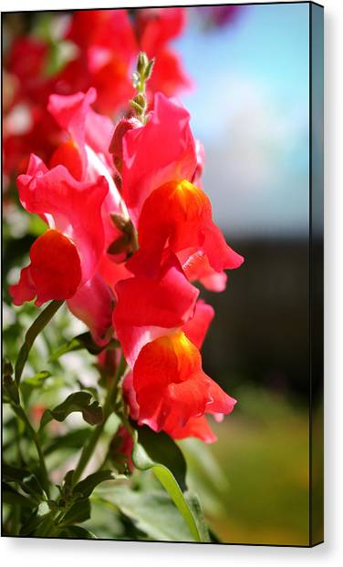 Red Snapdragons II Canvas Print by Aya Murrells