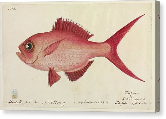 Red Snapper Fish Canvas Print by Natural History Museum, London/science Photo Library