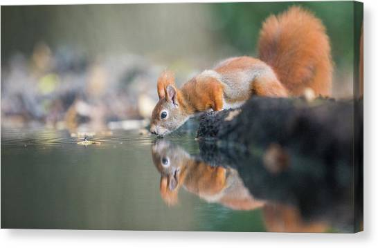 Red Squirrel Canvas Print by Erik Willaert