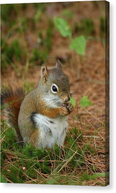 Red Squirrel In Acadia National Park Canvas Print by Acadia Photography